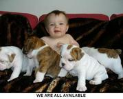 Champion Sired English Bulldog puppies availa